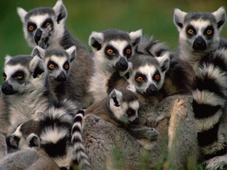 lemures cola anillada