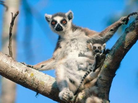 lemur en arbol