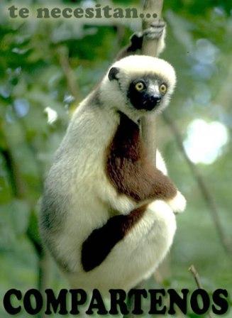 Lemur de cola anillada reproduccion asexual en