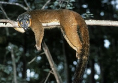 lemur marron de collar