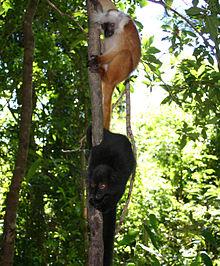 lemures negros madagascar