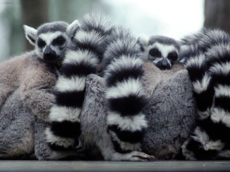 Q Son Los Lemures El lemur es nativo de