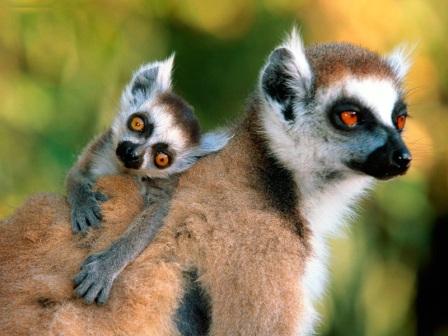 madre e hijo lemur