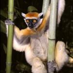 lemur de corona dorada