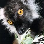 lemur negro