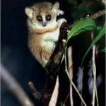 lemur raton gris