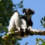 indri_lemur