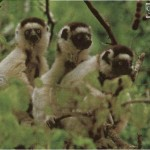 tres lemures