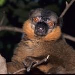lemur marron de collar macho