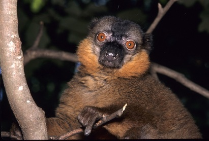 lemur marron de collar macho