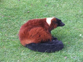 lemur rojo